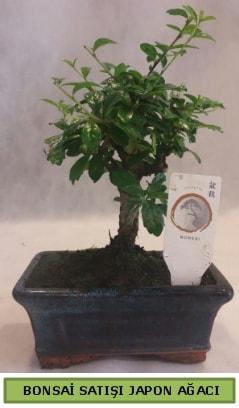 Minyatür bonsai ağacı satışı  Aydın incir çiçek çiçek gönderme