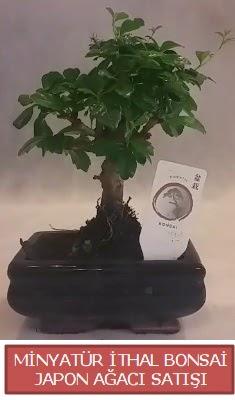 Küçük görsel bonsai japon ağacı bitkisi  Aydın incir çiçek çiçek , çiçekçi , çiçekçilik
