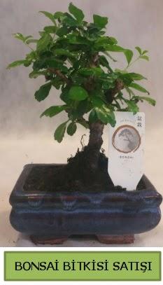 Bonsai ithal görsel minyatür japon ağacı  Aydın incir çiçek ucuz çiçek gönder