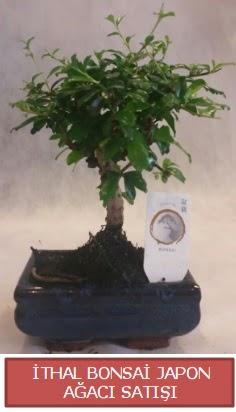 İthal küçük boy minyatür bonsai ağaç bitkisi  Aydın incir çiçek çiçekçi telefonları