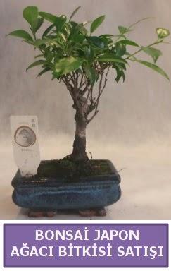 İthal Bonsai japon ağacı bitkisi satışı  Aydın incir çiçek incir çiçek İnternetten çiçek siparişi