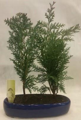 SINIRLI SAYIDA Selvi Ağacı bonsai ikili  Aydın incir çiçek çiçekçi telefonları