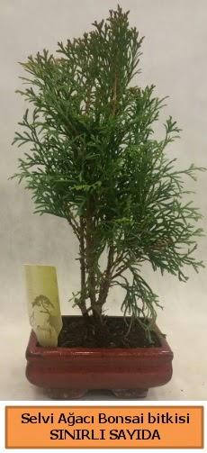 Selvi ağacı bonsai japon ağacı bitkisi  Aydın incir çiçek çiçek satışı