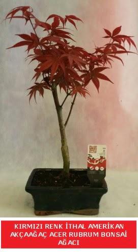 İTHAL ACER RUBRUM BONSAİ AĞACI  Aydın incir çiçek çiçek gönderme sitemiz güvenlidir