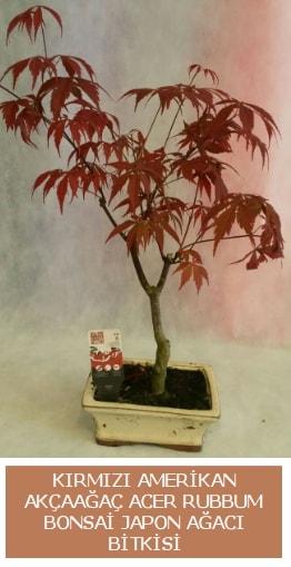 Amerikan akçaağaç Acer Rubrum bonsai  Aydın incir çiçek uluslararası çiçek gönderme