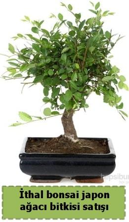 İthal bonsai saksı çiçeği Japon ağacı satışı  Aydın incir çiçek incir çiçek İnternetten çiçek siparişi