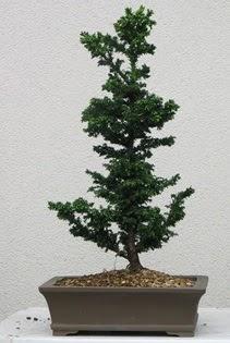 Çam ağacı bonsai bitkisi satışı  Aydın incir çiçek çiçekçi telefonları
