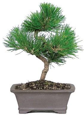 Çam ağacı bonsai japon ağacı bitkisi  Aydın incir çiçek çiçek gönderme