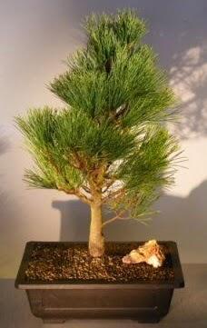 Çam ağacı japon ağacı bitkisi bonsai  Aydın incir çiçek çiçekçi telefonları