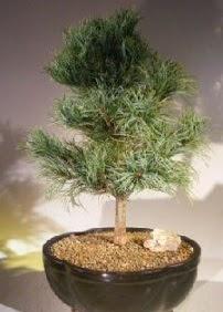 Çam ağacı bonsai bitkisi satışı  Aydın incir çiçek ucuz çiçek gönder