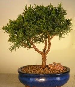 Servi çam bonsai japon ağacı bitkisi  Aydın incir çiçek çiçek yolla