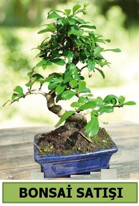 Çam bonsai japon ağacı satışı  Aydın incir çiçek çiçek satışı