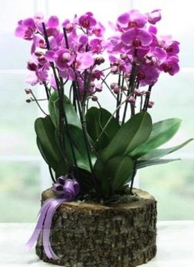 Kütük içerisinde 6 dallı mor orkide  Aydın incir çiçek ucuz çiçek gönder