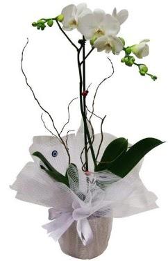 Tek dallı beyaz orkide  Aydın incir çiçek cicek , cicekci