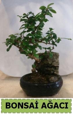 Bonsai ağacı japon ağacı satışı  Aydın incir çiçek hediye çiçek yolla