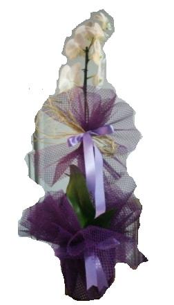 Tek dallı beyaz orkide süper kalite ithal  Aydın incir çiçek çiçek siparişi sitesi