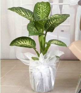 Tropik saksı çiçeği bitkisi  Aydın incir çiçek çiçek satışı