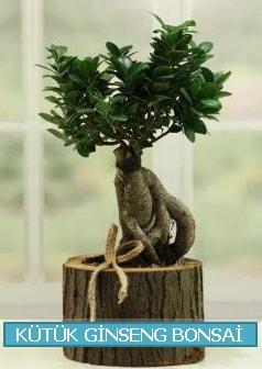 Kütük ağaç içerisinde ginseng bonsai  Aydın incir çiçek çiçek gönderme sitemiz güvenlidir