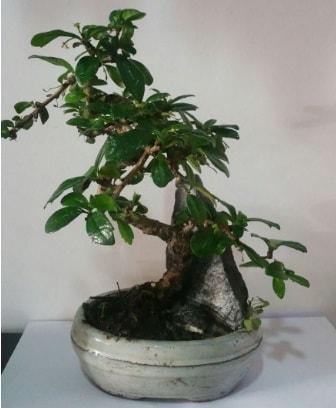 S şeklinde ithal bonsai ağacı  Aydın incir çiçek çiçek yolla