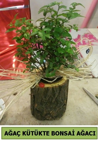 Doğal ağaç kütük içerisinde bonsai ağacı  Aydın incir çiçek çiçek gönderme sitemiz güvenlidir