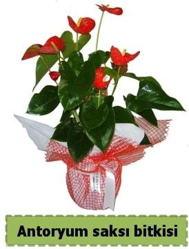 Antoryum saksı bitkisi satışı  Aydın incir çiçek çiçek , çiçekçi , çiçekçilik
