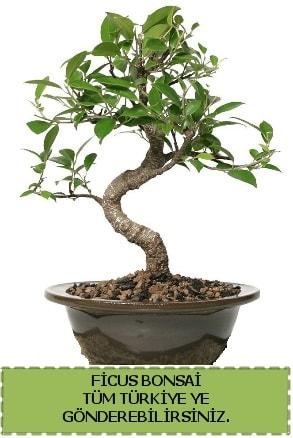 Ficus bonsai  Aydın incir çiçek çiçek gönderme sitemiz güvenlidir