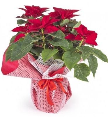 Atatürk çiçeği saksı bitkisi  Aydın incir çiçek çiçek gönderme sitemiz güvenlidir
