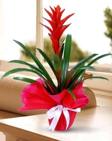 Guzmanya Saksı Çiçeği  Aydın incir çiçek çiçek yolla
