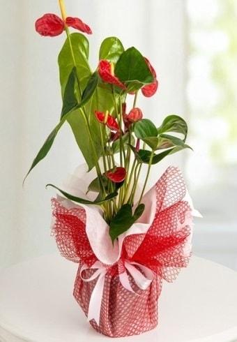 Anthurium Saksı Çiçeği  Aydın incir çiçek hediye çiçek yolla