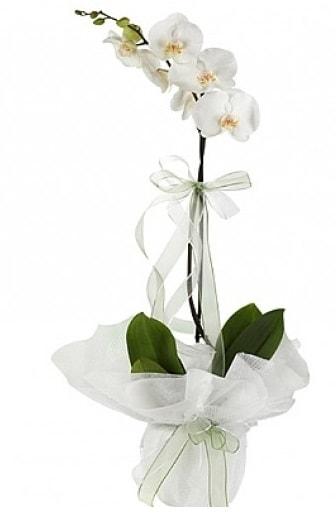 Tekli Beyaz Orkide  Aydın incir çiçek hediye çiçek yolla