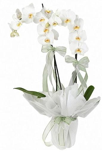 Çift Dallı Beyaz Orkide  Aydın incir çiçek anneler günü çiçek yolla