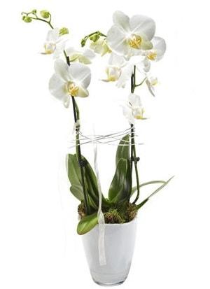 2 dallı beyaz seramik beyaz orkide saksısı  Aydın incir çiçek çiçek gönderme sitemiz güvenlidir