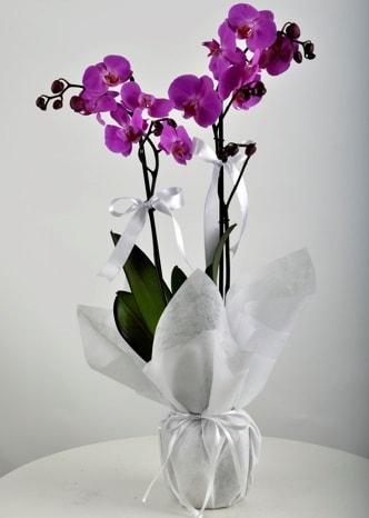 Çift dallı saksıda mor orkide çiçeği  Aydın incir çiçek çiçek siparişi vermek