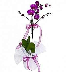 Tek dallı saksıda ithal mor orkide çiçeği  Aydın incir çiçek çiçekçiler