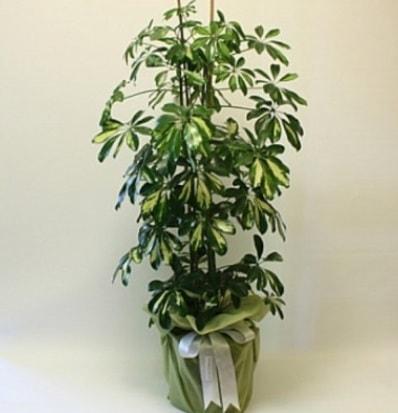 Şeflera salon bitkisi  Aydın incir çiçek çiçek gönderme