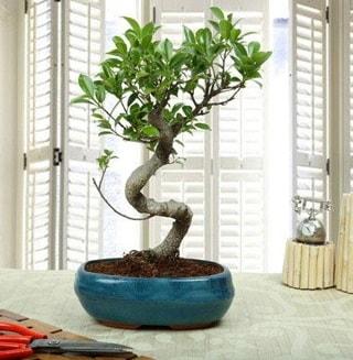 Amazing Bonsai Ficus S İthal  Aydın incir çiçek internetten çiçek siparişi