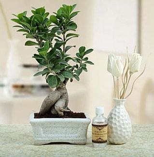 Ginseng ficus bonsai  Aydın incir çiçek çiçekçiler