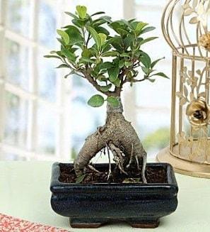 Appealing Ficus Ginseng Bonsai  Aydın incir çiçek anneler günü çiçek yolla