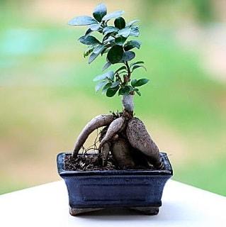 Marvellous Ficus Microcarpa ginseng bonsai  Aydın incir çiçek çiçek siparişi vermek