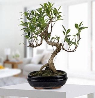 Gorgeous Ficus S shaped japon bonsai  Aydın incir çiçek yurtiçi ve yurtdışı çiçek siparişi