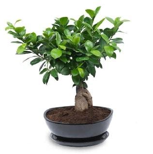 Ginseng bonsai ağacı özel ithal ürün  Aydın incir çiçek internetten çiçek satışı