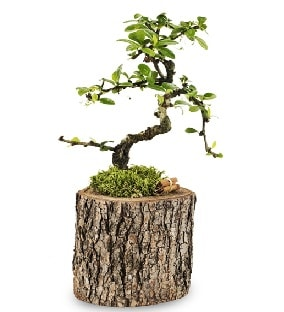 Doğal kütükte S bonsai ağacı  Aydın incir çiçek çiçek satışı