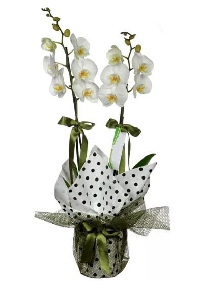 Çift Dallı Beyaz Orkide  Aydın incir çiçek 14 şubat sevgililer günü çiçek
