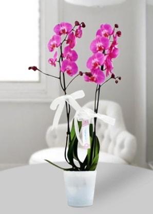 Çift dallı mor orkide  Aydın incir çiçek çiçekçiler