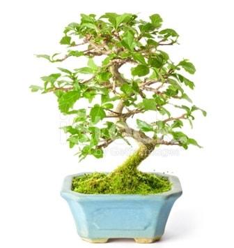S zerkova bonsai kısa süreliğine  Aydın incir çiçek incir çiçek İnternetten çiçek siparişi