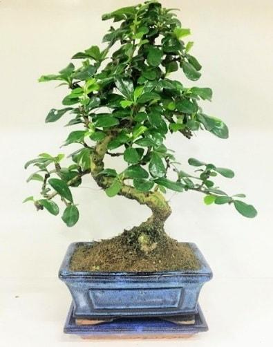 S Bonsai japon ağacı bitkisi  Aydın incir çiçek uluslararası çiçek gönderme