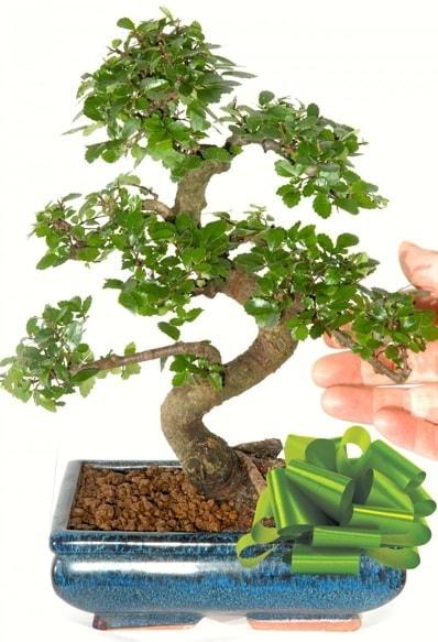 Yaklaşık 25 cm boyutlarında S bonsai  Aydın incir çiçek çiçek siparişi sitesi