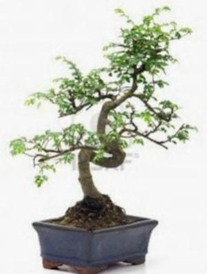 S gövde bonsai minyatür ağaç japon ağacı  Aydın incir çiçek çiçek satışı