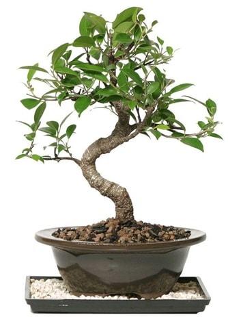 Altın kalite Ficus S bonsai  Aydın incir çiçek çiçekçi telefonları  Süper Kalite