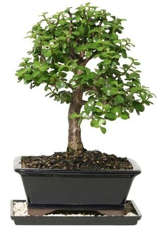 15 cm civarı Zerkova bonsai bitkisi  Aydın incir çiçek çiçek siparişi sitesi